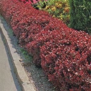 Berberis atropurpurea nana1