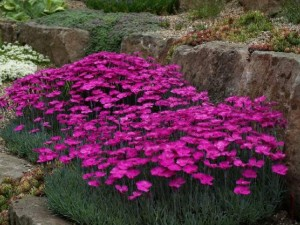 Dianthus ruzicasti1