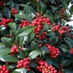 ilex aquifolium grm