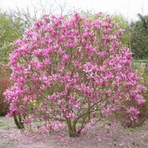 Magnolia suzan1