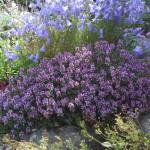 Thymus 'Doone Valley'