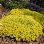 sedum acre aurea