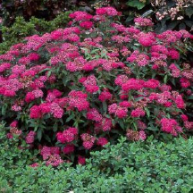 Spirea_Anthony_Waterer