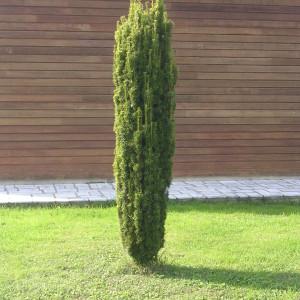 Taxus-baccata-Fastigiata-aurea
