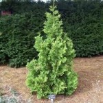 Thuja-occidentalis-Mickey