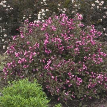 Wajgela-roze-360x360