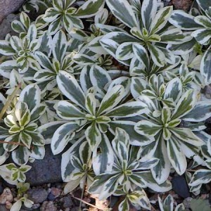 arabis variegata