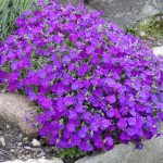 aubrieta hendersonii
