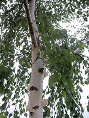 betula pendula breza