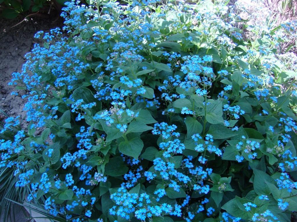 brunnera macrophylla