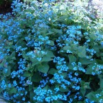 brunnera macrophylla
