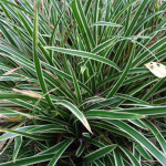 carex trava morrowii