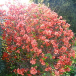 cidonija - japanska dunja