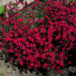 dianthus flashing light