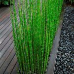 equisetum japonicum2