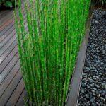 equisetum japonicum2