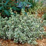 euonymus belo zeleni