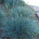 festuca glauca
