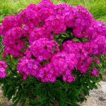 flox visoki roze