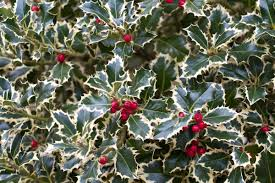 ilex aguifolium albomarginata