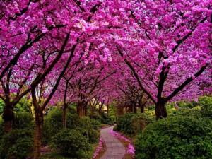 cercis-judino drvo