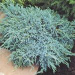 juniperus blu carpet