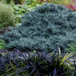 juniperus blue star2