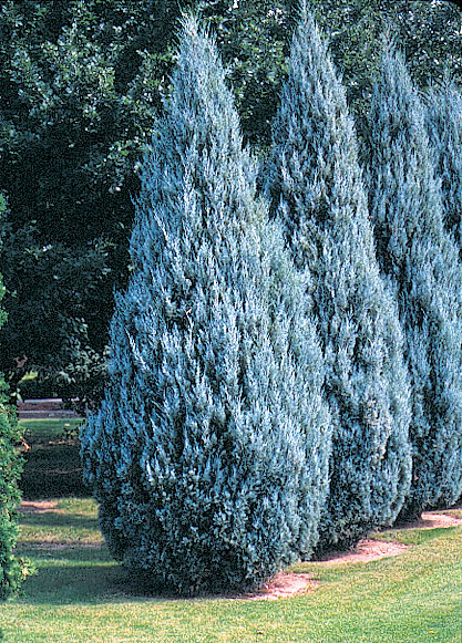 juniperus moonglow