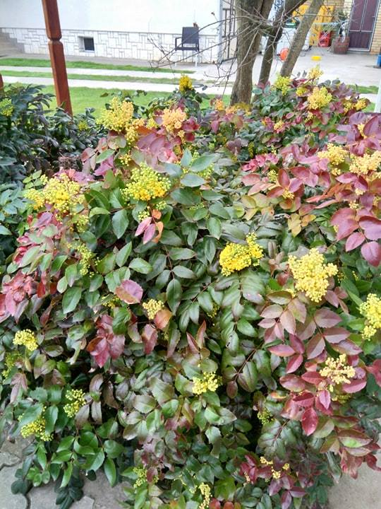 mahonija zimzeleni grm