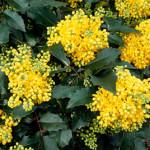 mahonia aquifolium1