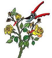 orezivanje precvetalih cvetova