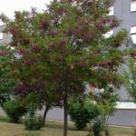 robinia hispida rosea