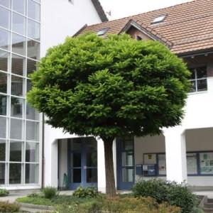 robinia umbraculifera1
