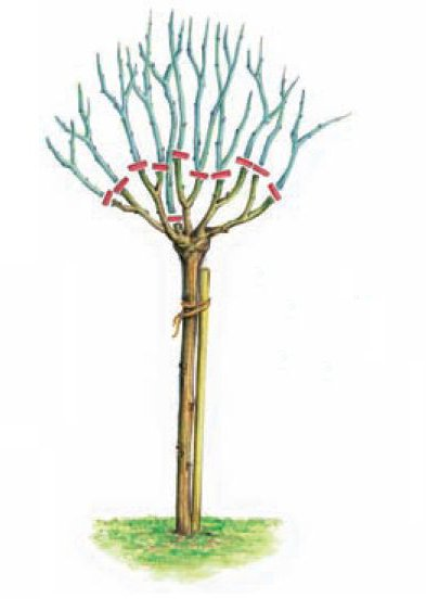 ruze stablasice orezivanje