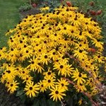 rudbeckia fulgida-pupavica