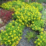 sedum ellacombeanum