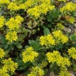 sedum hybridum