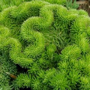 sedum rupestre cristatum