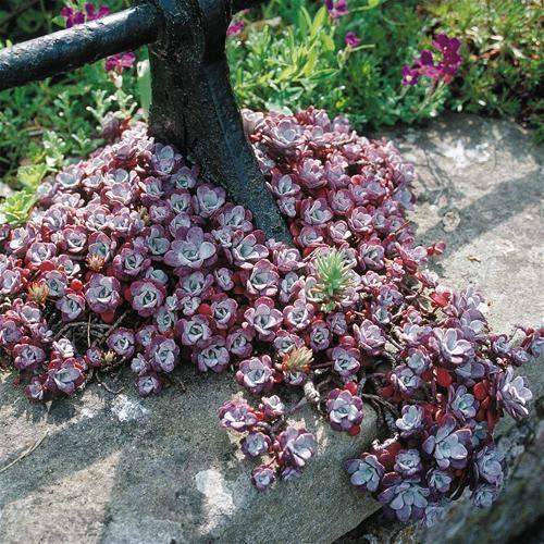 sedum spathulifolium pureum1
