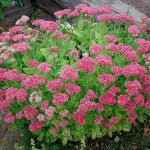 sedum spectabile