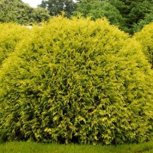 thuja golden globe2