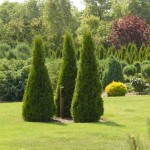 thuja_occidentalis_smaragd