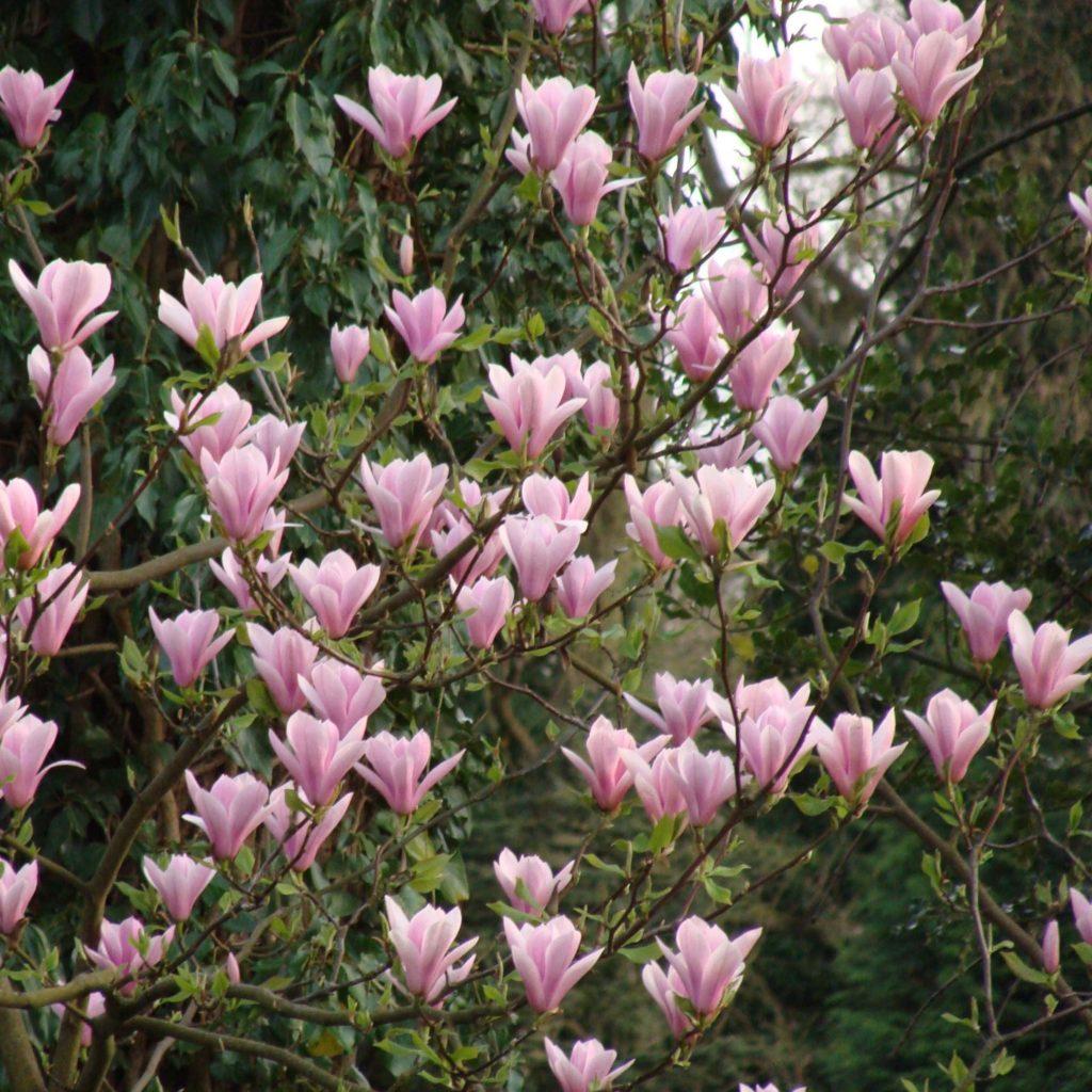 Magnolia svetlo roze