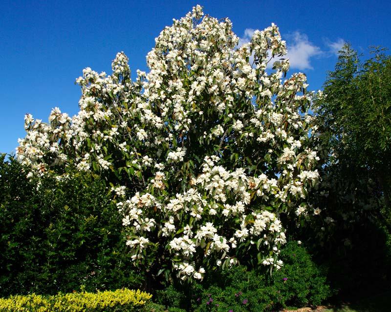 MagnoliaGrandifloraWs800