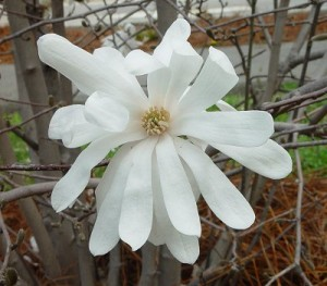 Magnolija bela 1