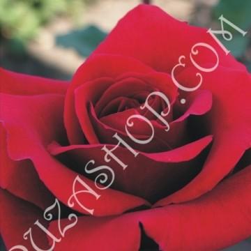 Red-Berlin-360x360