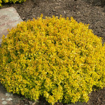 berberis tiny gold