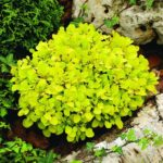berberis tiny gold2