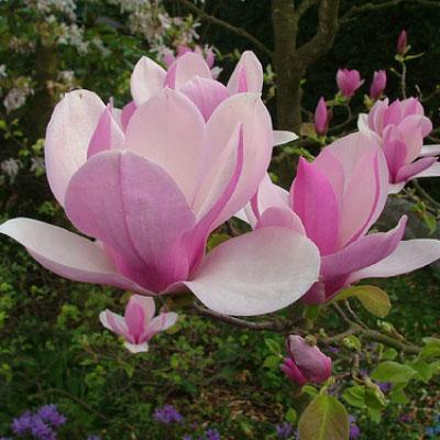 magnolia-x-soulangeana-magnolia-984-p