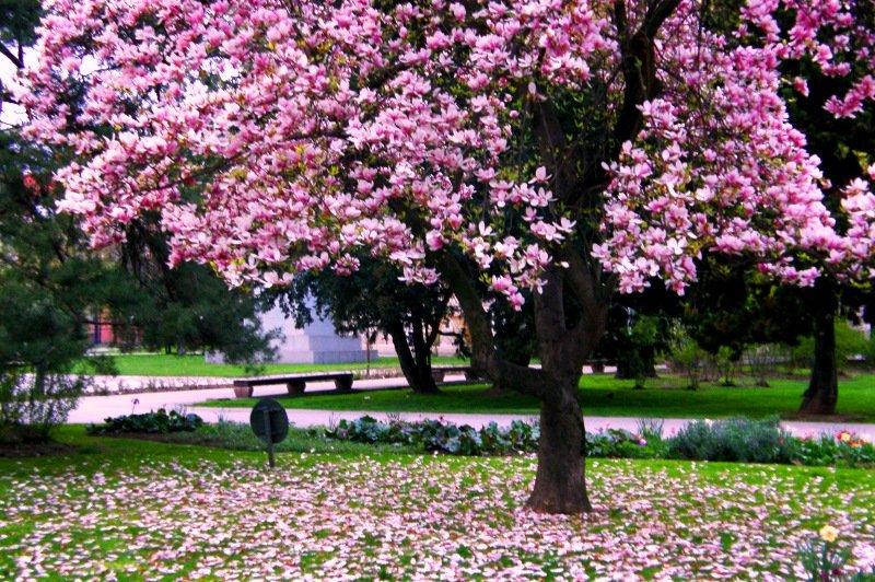 magnolija drvo
